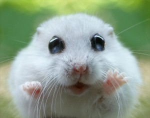 Cute-hamster