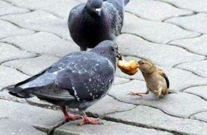 porumbei-vrabii